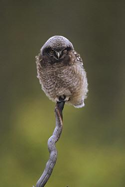 Northern Hawk Owl (Surnia ulula) baby perching on branch, Alaska  -  Michael Quinton