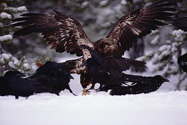 Common Raven (Corvus corax) group and a juvenile Bald Eagle (Haliaeetus leucocephalus) fight over a Beaver carcass, Idaho  -  Michael Quinton