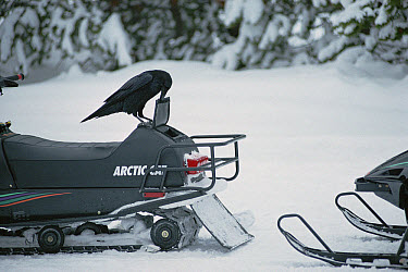 Common Raven (Corvus corax) using its beak to open a snowmobile's storage compartment in search of food, Yellowstone National Park, Wyoming  -  Michael Quinton
