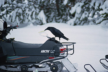 Common Raven (Corvus corax) removing a plastic bag from a snowmobile's storage compartment, Yellowstone National Park, Wyoming  -  Michael Quinton