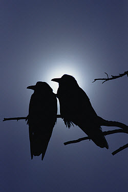 Common Raven (Corvus corax) pair perching on a branch, backlit by filtered sunlight, North America  -  Michael Quinton