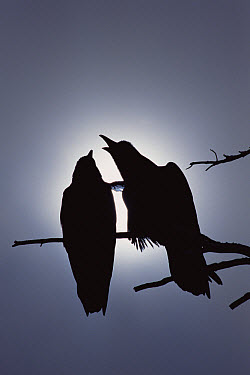 Common Raven (Corvus corax) pair perching on a branch, one calling, backlit by filtered sunlight, North America  -  Michael Quinton