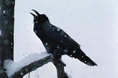 Common Raven (Corvus corax) eating snow during a snowstorm, North America  -  Michael Quinton