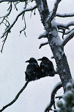 Common Raven (Corvus corax) pair perching in a snag during a snowstorm, North America  -  Michael Quinton