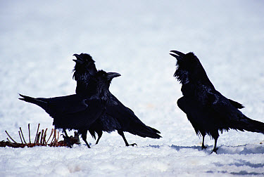 Common Raven (Corvus corax) group fighting near a carcass, Yellowstone National Park, Wyoming  -  Michael Quinton