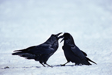 Common Raven (Corvus corax) group fighting in the snow near a carcass, Yellowstone National Park, Wyoming  -  Michael Quinton