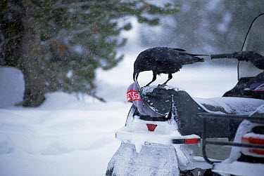 Common Raven (Corvus corax) removing a ski cap from a snowmobile's storage compartment which it has opened with its beak, Yellowstone National Park, Wyoming  -  Michael Quinton