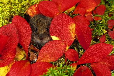 Tundra Vole (Microtus oeconomus) in autumn foliage, Alaska  -  Michael Quinton
