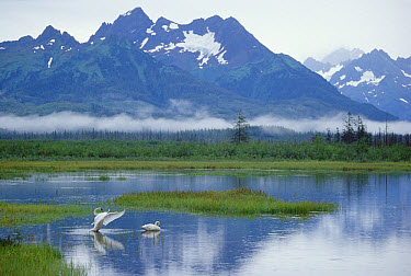 Trumpeter Swan (Cygnus buccinator) pair on lake, Copper River Delta, Alaska  -  Michael Quinton
