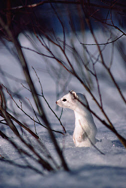 Long-tailed Weasel (Mustela frenata) camouflaged against snow, Yellowstone National Park, Wyoming  -  Michael Quinton