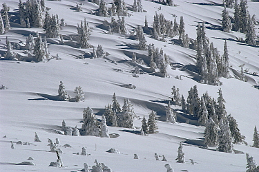 Douglas Fir (Pseudotsuga menziesii) trees casting long shadows in winter, Yellowstone National Park, Wyoming