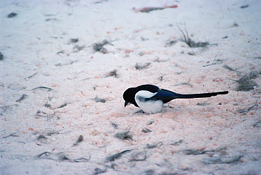 Black-billed Magpie (Pica pica) scavenging for food at the site of a Bald Eagle (Haliaeetus leucocephalus) kill, Yellowstone National Park, Wyoming  -  Michael Quinton