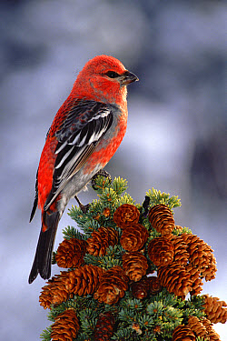 Pine Grosbeak (Pinicola enucleator) male, perched atop tree, Alaska  -  Michael Quinton