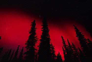 Red aurora borealis over boreal forest, Alaska  -  Michael Quinton