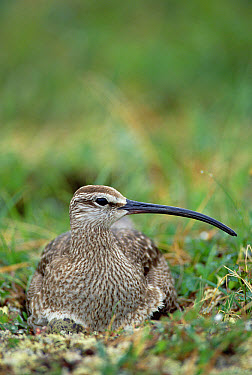 Whimbrel (Numenius phaeopus) nesting on tundra, portrait, Alaska  -  Michael Quinton