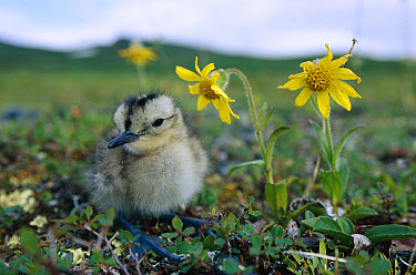 Whimbrel (Numenius phaeopus) chick on tundra with flowers, Alaska  -  Michael Quinton