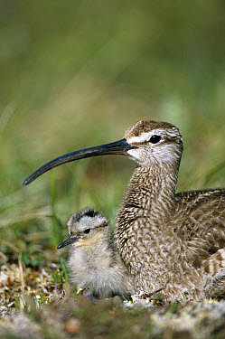 Whimbrel (Numenius phaeopus) chick with parent, Alaska  -  Michael Quinton