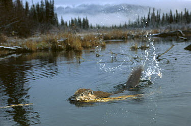 American Beaver (Castor canadensis) slapping water with tail in boreal pond, Alaska  -  Michael Quinton
