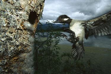 Bufflehead (Bucephala albeola) mother flying to nest entrance, boreal pond habitat, Alaska  -  Michael Quinton