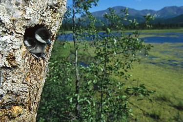 Bufflehead (Bucephala albeola) chick at nest entrance in tree, boreal pond habitat, Alaska  -  Michael Quinton
