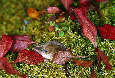 Shrew (Sorex sp) on mossy leaf littered ground, boreal pond habitat, Alaska  -  Michael Quinton