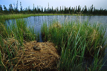 Pacific Loon (Gavia pacifica) nest with eggs in boreal pond habitat, Alaska  -  Michael Quinton
