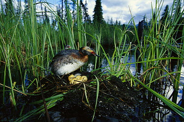 Horned Grebe (Podiceps auritus) parent with chick on back at nest with eggs in boreal pond, Alaska  -  Michael Quinton