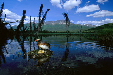 Horned Grebe (Podiceps auritus) adult at nest with eggs in boreal pond, Alaska  -  Michael Quinton