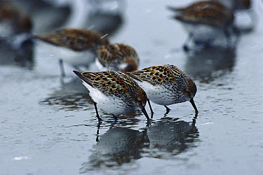 Western Sandpiper (Calidris mauri) flock foraging in mud flats for small clams, crustaceans and marine invertebrates during spring migration stop-over at the Copper River Delta, Alaska  -  Michael Quinton