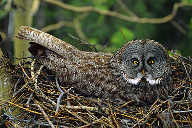 Great Gray Owl (Strix nebulosa) incubating eggs on nest, North America  -  Michael Quinton