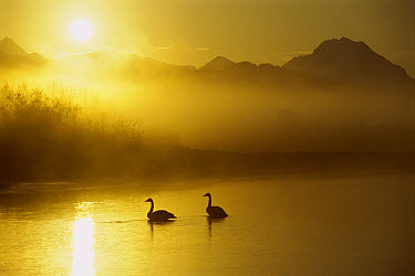 Trumpeter Swan (Cygnus buccinator) pair on lake at sunset, North America  -  Michael Quinton