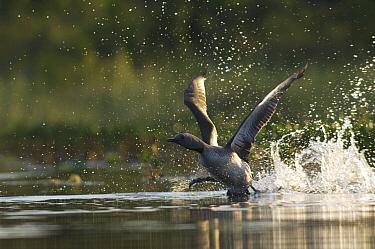 Red-throated Loon (Gavia stellata) taking flight from water, Alaska  -  Michael Quinton