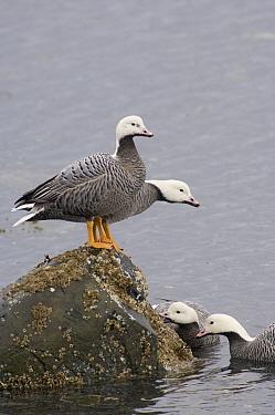 Emperor Goose (Anser canagicus) group feeding on barnacles, Alaska  -  Michael Quinton