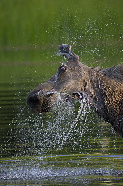 Alaska Moose (Alces alces gigas) female shaking water off after feeding, Chena River, Alaska  -  Michael Quinton