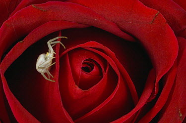Goldenrod Crab Spider (Misumena vatia) on rose, Alaska  -  Michael Quinton