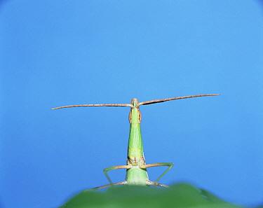 Grasshopper (Acrida chinensis), Japan  -  Mitsuhiko Imamori