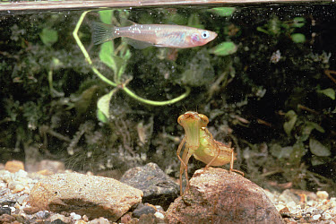 Lesser Emperor Dragonfly (Anax parthenope) larvae underwater, Shiga, Japan, sequence 1 of 3  -  Mitsuhiko Imamori