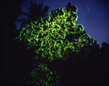 Christmas Tree Firefly (Pyrophanes appendiculata) at night, southeast Asia  -  Mitsuhiko Imamori