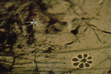 Spider (Dolomedes pallitarsis) usually waits for prey at edge of pond or stream, runs over surface of water to escape danger, Shiga, Japan  -  Mitsuhiko Imamori