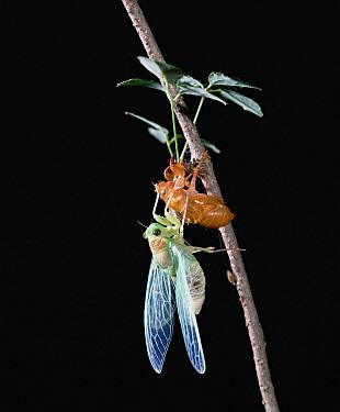 Cicada (Tanna japonensis) emerging, Shiga, Japan  -  Mitsuhiko Imamori