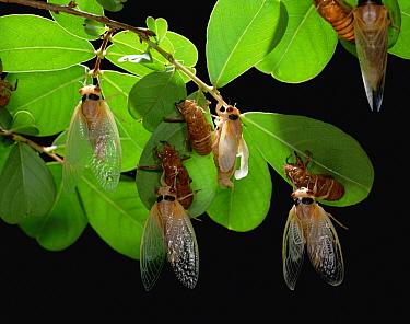 Cicada (Magicicada sp) adults emerge from larval form  -  Mitsuhiko Imamori