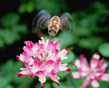 Honey Bee (Apis mellifera) feeding at flower, Shiga, Japan  -  Mitsuhiko Imamori