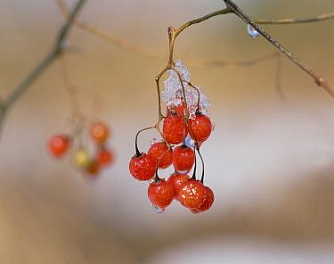 Lyreleaf Nightshade (Solanum lyratum) detail of berries with frost, Japan  -  Mitsuhiko Imamori