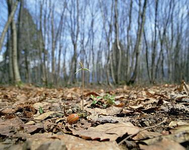 Konara Oak (Quercus serrata) new sprout growing from acorn on forest floor, Shiga, Japan  -  Mitsuhiko Imamori