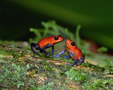Strawberry Poison Dart Frog (Oophaga pumilio) pair, Central America  -  Mitsuhiko Imamori