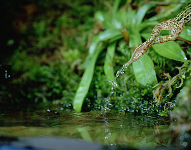 Black-spotted Frog (Rana nigromaculata) leaping from pond, Japan  -  Mitsuhiko Imamori