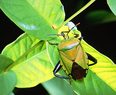 Tessaratomid (Eusthenes sp) beetle close up, on leaf  -  Mitsuhiko Imamori