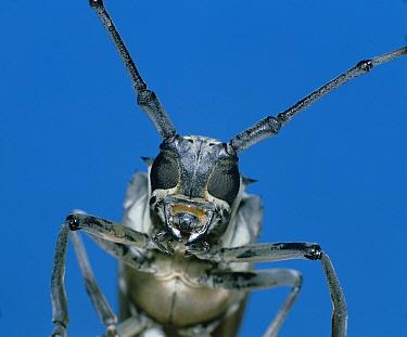 Long Horn Beetle (Batocera lineolata) close up, portrait, Shiga, Japan  -  Mitsuhiko Imamori