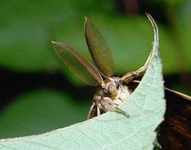 Gypsy Moth (Lymantria dispar) close up on leaf, front view, Shiga, Japan  -  Mitsuhiko Imamori