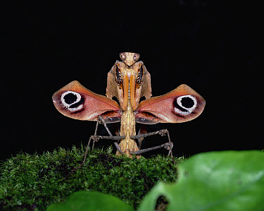 Malaysian Dead-leaf Mantis (Deroplatys desiccata), Asia  -  Mitsuhiko Imamori